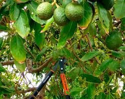 how to care for avocado trees