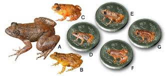 seven new species of night frogs from india including four