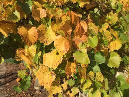 native arkansas plants vitis rotundifolia muscadine grape scuppernong