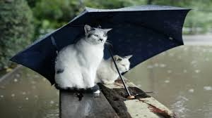 cats cats umbrellas rain animals humor moving images for hd 16 9