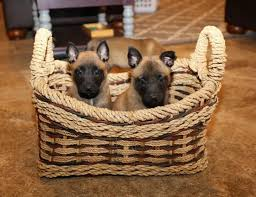 belgian shepherd youtube best 25 belgian malinois for sale ideas only on pinterest