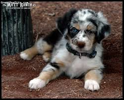 south dakota australian shepherd australian shepherd puppy 8 weeks old blue merle copper and