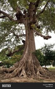 big tree roots image photo bigstock