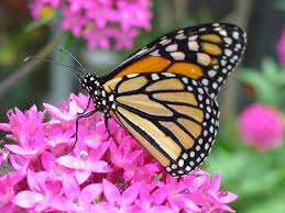 Butterfly Flower Free Photo Butterfly Flower Monarch Nature Free Image On