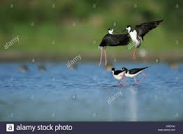 black necked stilt himantopus mexicanus two couples fighting