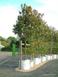 38 best evergreen trees grown at barcham trees plc cambridge uk