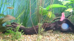 australian native aquatic plants australian native fish honey blue eyes fighting pseudomugil
