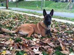 belgian shepherd national specialty 1146 best belgian malinois dog images on pinterest belgian