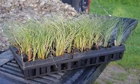 how to turn 50 into 1 000 growing ornamental grasses