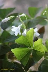 how to care for a shamrock plant after st patrick u0027s day is long