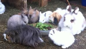 lion heads for sale lionhead rabbits for sale 35 with pictures