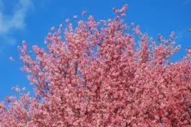 cherry blossoms in shillong shillong