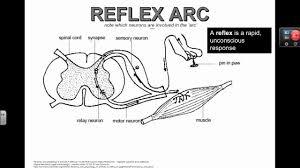 Knee Reflex Arc Reflex Arc Ib Biology Youtube