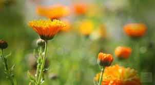 calendula flowers marigold and calendula for the skin