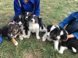 australian shepherd indiana view ad miniature australian shepherd mix puppy for sale indiana