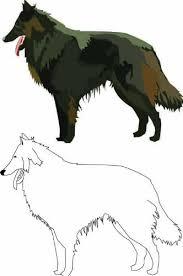 belgian sheepdog australia buy australian sheepdog shephards grooming australian sheepdog