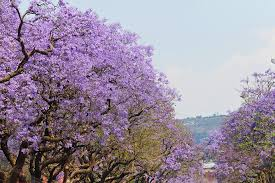 free photo fantastic trees jacaranda trees beautiful purple max