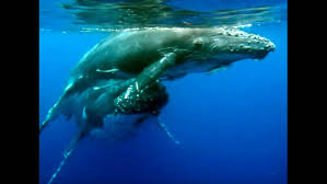close up humpback whale mum and baby youtube
