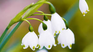 Snowflake Flower - homelife guide to winter flowers