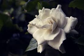 gardenia flower gardenia flower meaning flower meaning