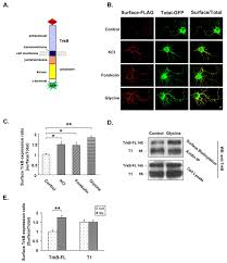 Flag Measurements Mechanism Underlying Activity Dependent Insertion Of Trkb Into The