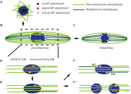 lateral and end on kinetochore attachments are coordinated to