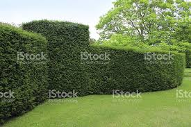 Yew Topiary - clipped english yew hedge image formal topiary garden stock photo
