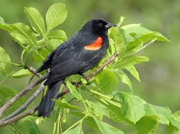 New Hampshire birds images Red winged blackbirds new hampshire public radio jpg