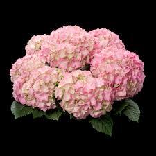 pink hydrangea hba varieties