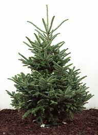 fraser fir christmas tree fraser fir real christmas trees for sale delivered london and uk