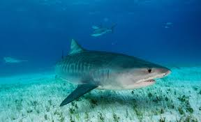 what s in a tiger shark s stomach currents