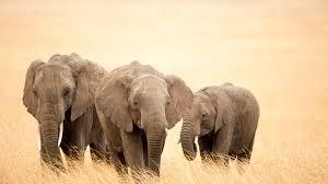 elephant screensavers and wallpaper wallpapersafari