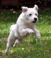 haircut ideas for long hair jack russell dogs jack russell terrier jrtca coat types
