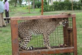 to cites stop trade in wild cheetahs
