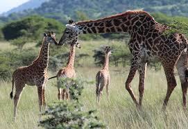 the secrets of giraffes