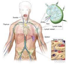 Nervous System Human Anatomy Primary Cns Lymphoma Treatment Pdq U2014patient Version National
