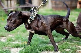 american pit bull terrier breed standard american pit bull terrier