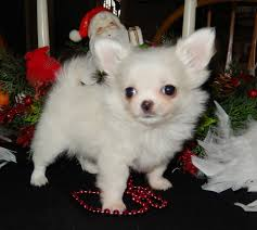 chihuahua puppies for sale located close to chicago illinois