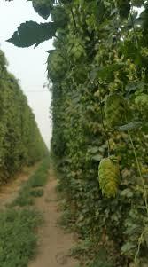 ohio u0027s largest hops farm in 100 years by annie mayle u2014 kickstarter