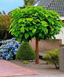 albero giardino acquista catalpa bakker