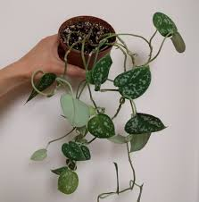 propagation of philodendron silver u2014 house plant journal