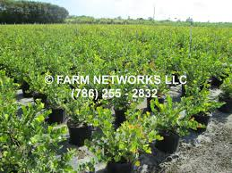 native hedging plants red tip cocoplum homestead hedge plants 786 255 2832 we deliver