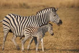hd zebra 4 catchy funny and wild animal infowpb com