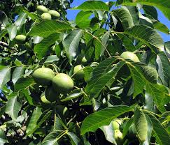 seasonal gardening u2013 california native 100 small garden fruit trees the big dry how to help your