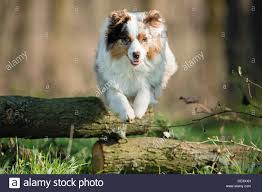 t r australian shepherds australian shepherd dog jumping over tree trunk stock photo