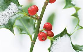 christmas plants christmas plants a berry merry season telegraph