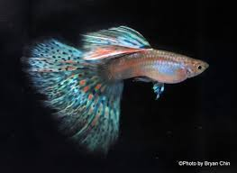 welcome to the world of modern guppy breeding