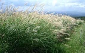 9 ornamental grasses for your garden landscape design