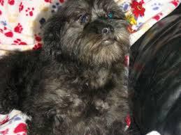 affenpinscher rescue seattle affenpinscher puppies for sale
