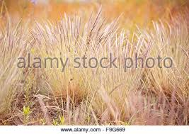 flowering decorative grass clumps small ornamental grass with